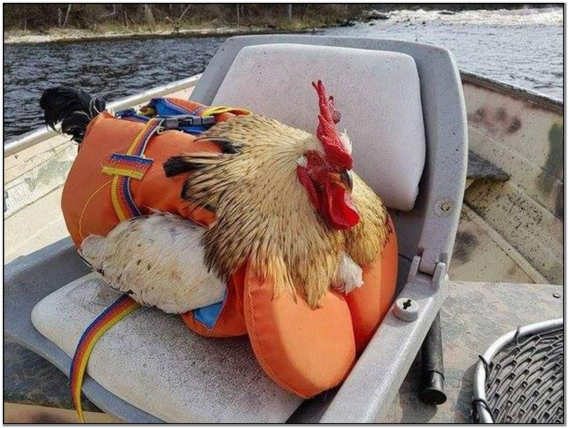 Chicken Life Jackets