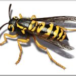 How To Get Rid Of Yellow Jackets In Siding Naturally