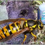 Killing Yellow Jackets