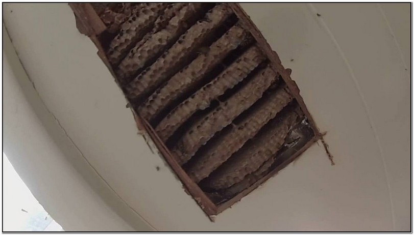 Yellow Jacket Wasp Nest In Wall